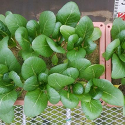 御座入サンドの砂栽培による葉物野菜生育試験