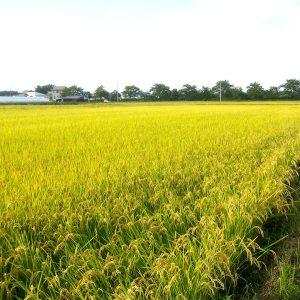 ミネラルスターの水稲に対する効果事例及びアクアポリン水透過性試験