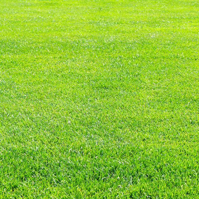 御座入サンドの芝草生育試験